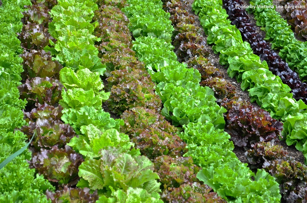 Luscious Lettuce