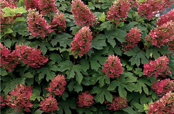 Hydrangea quercifolia 'Ruby Slippers'